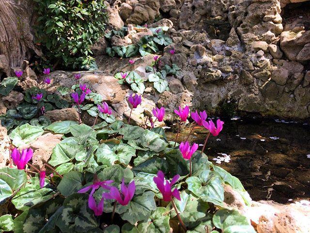 Fioriture Selvatiche sarde Ci siamo finalmente! Dopo le peonie in giardino fanno la loro apparizione anche i meravigliosi ciclamini. Nei boschi della comincia lo spettacolo floreale! Buon pomeriggio a tutti.
