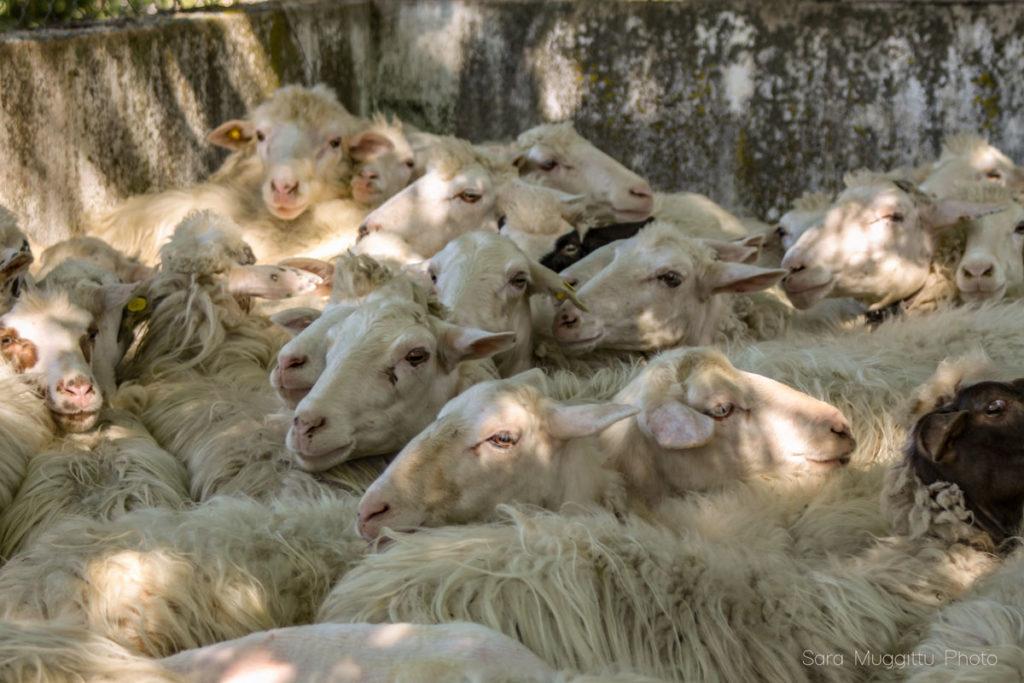 pecore in attesa